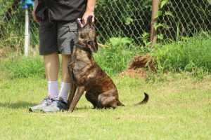 Dutch Shepherd Tera