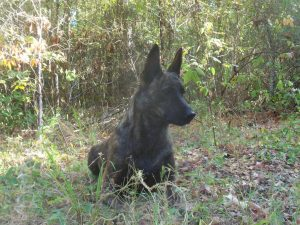 Dutch Shepherd Gloria