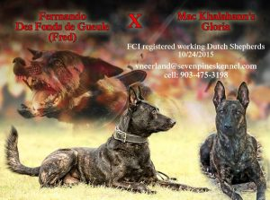 Dutch Shepherd M Littler