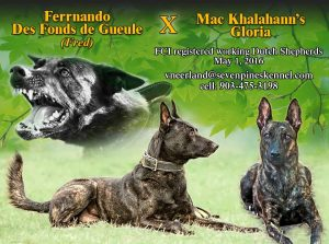 Dutch Shepherd L litter