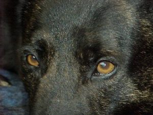 Dutch Shepherd Eyes